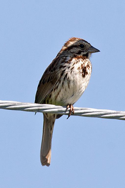 _DSC9834 Song Sparrow