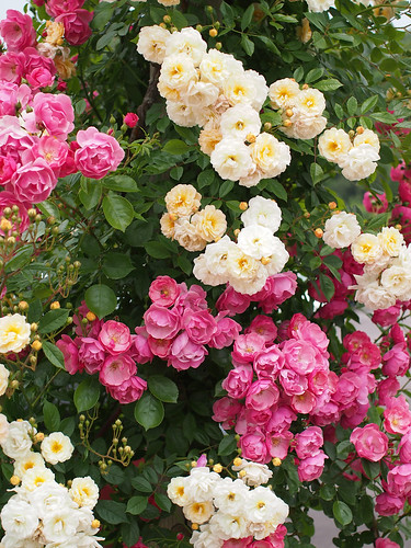 Rose, Angela, バラ, アンジェラ, Rose, Ghislaine de Féligonde, バラ, ギスレーヌ ドゥ フェリゴンド,