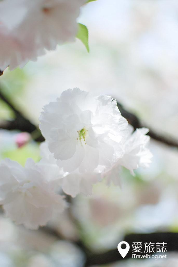 大阪造币局 樱花 52