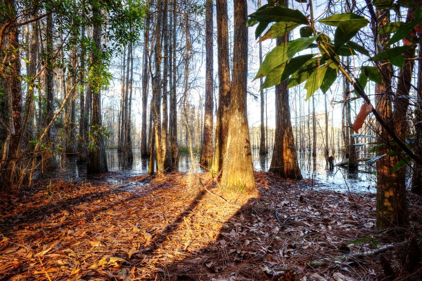 Golden light filtering into the swamp at sunset.