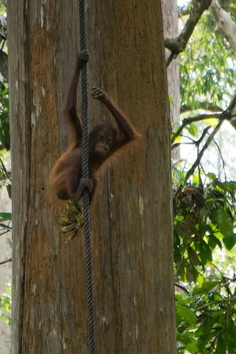 Baby orangutan. Sepilok