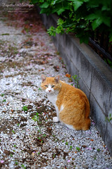 ノラにゃん 20150403-DSCF0213