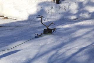 Reindeer lasso training