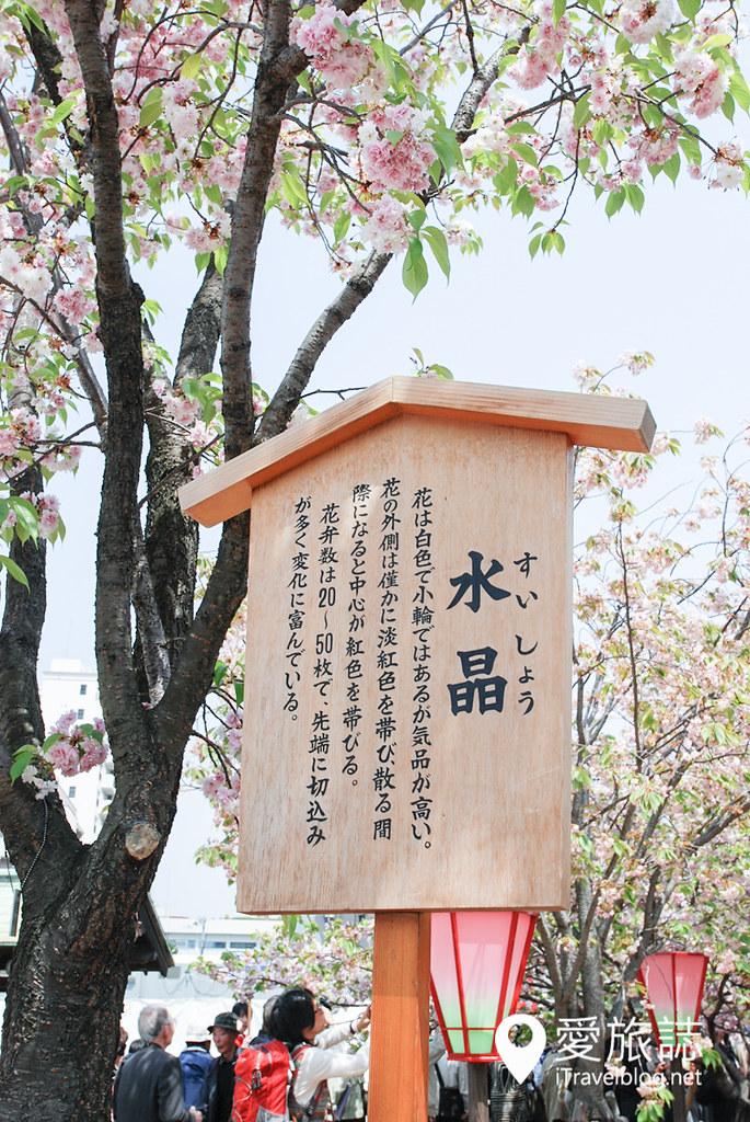 大阪造幣局 櫻花 14