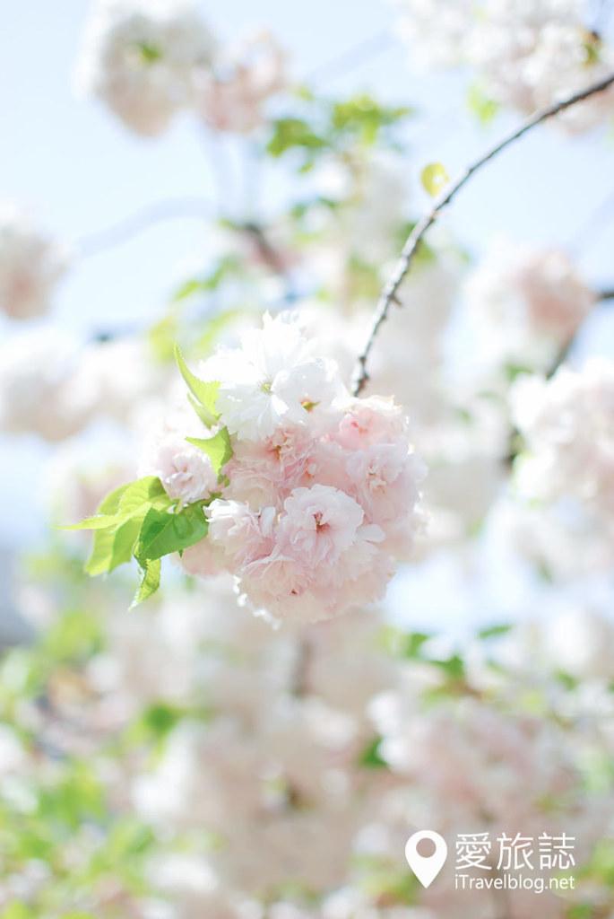 大阪造币局 樱花 56