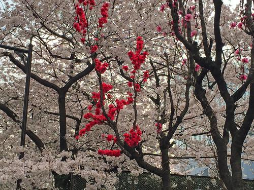Cherry Blossoms at Tsukiji(Tokyo, Japan)