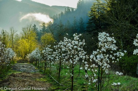 magnolia along the river