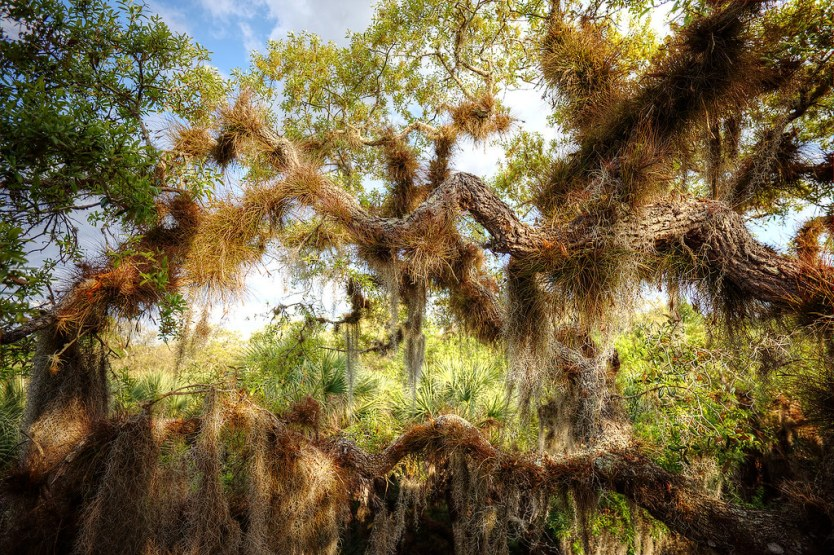 Eye level with the trees at Myakka River Park.