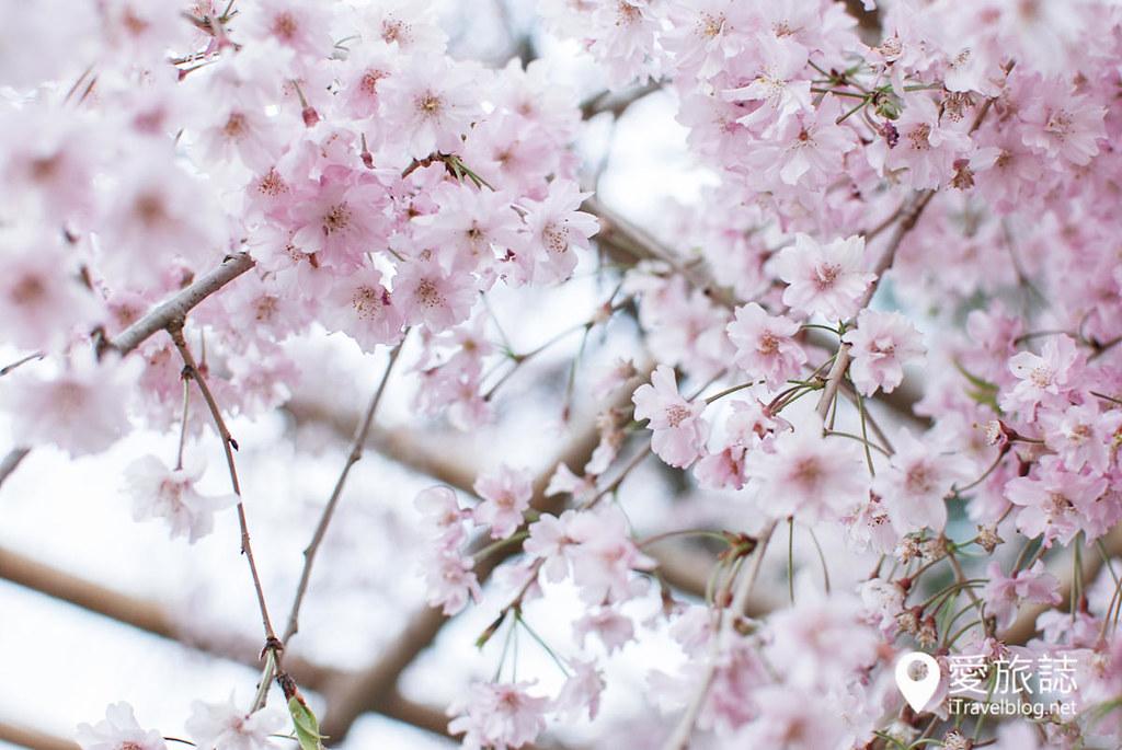 京都赏樱景点 半木之道 19