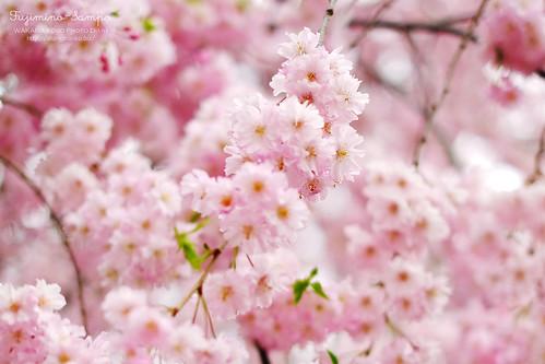しだれ桜 20150403-DSCF0155