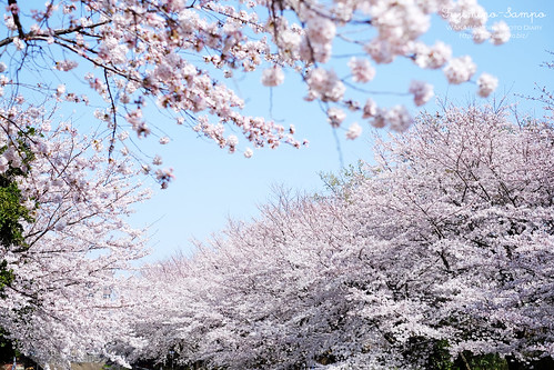ソメイヨシノ 大井弁天の森 20150330-DSCF9847