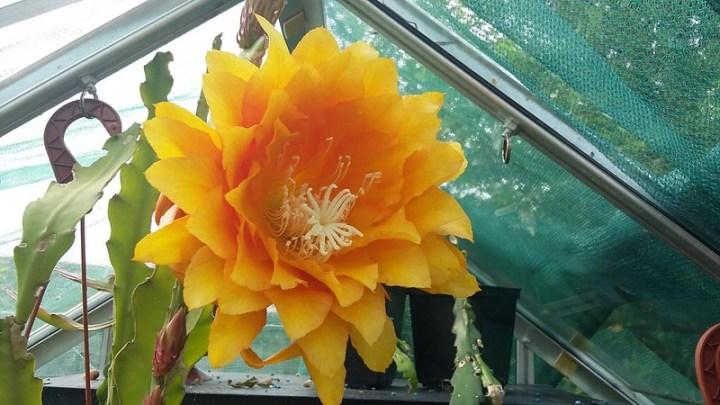 Epiphyllum cv. Yellow Tang
