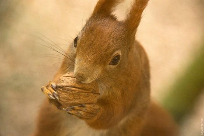 Eichhörnchen knabbert