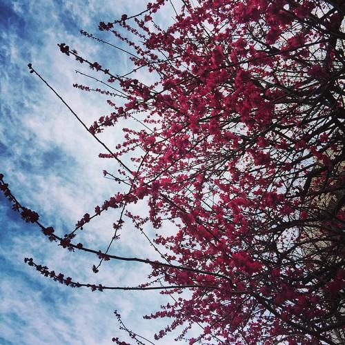 Plum tree.
