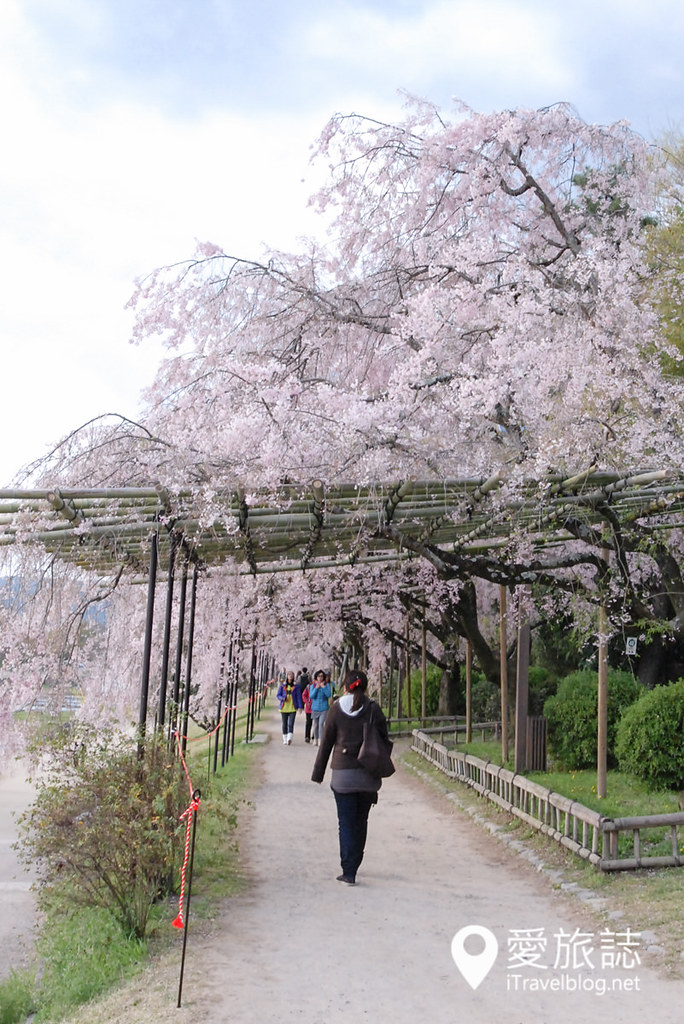 京都赏樱景点 半木之道 04