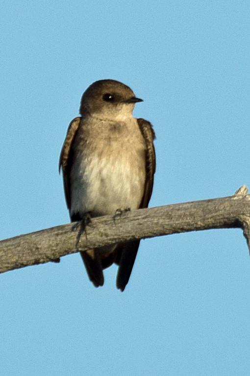 _DSC7900 Rough-winged Swallow