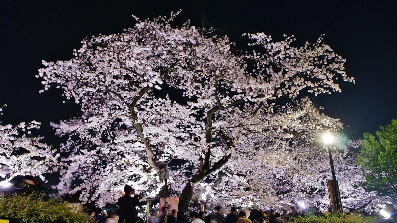 White Sakura at Chidorigafuchi outside the Indian Embassy