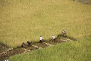 riziere récolte
