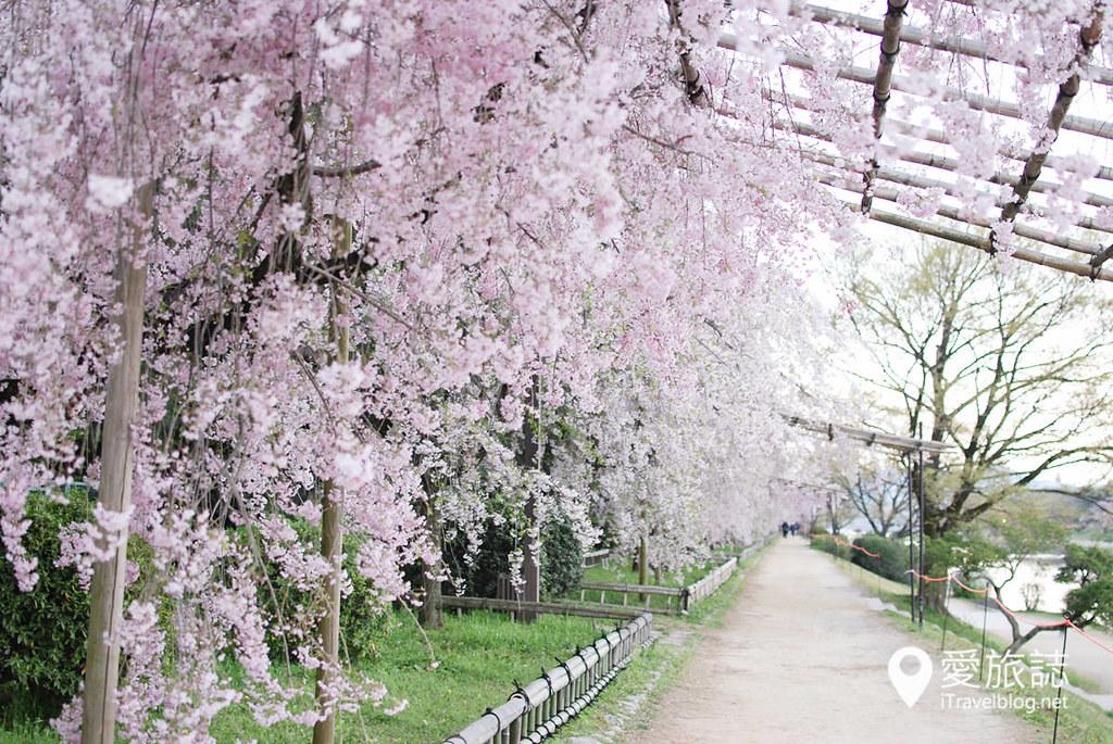 京都赏樱景点 半木之道 35