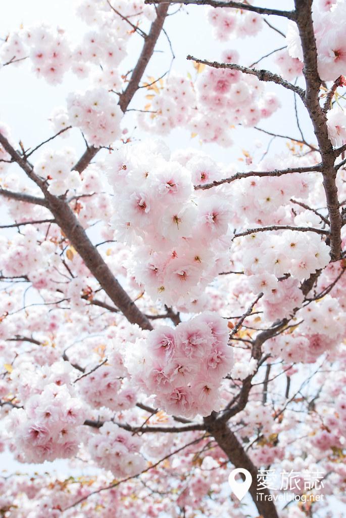 大阪造币局 樱花 27
