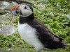 Puffin with sand eels (5)