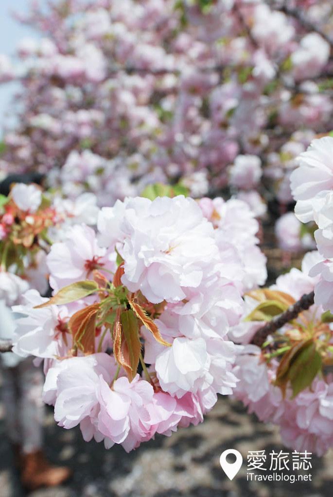 大阪造币局 樱花 24