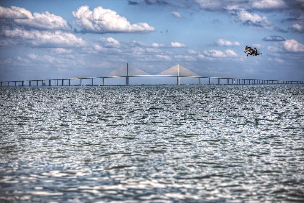 Dive bombing pelican with the Sunshine Skyway Bridge in the back.