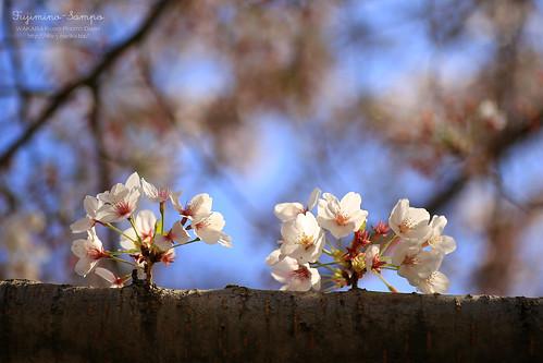 ソメイヨシノ 20150412-IMG_0255