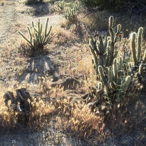Cacti start to get serious