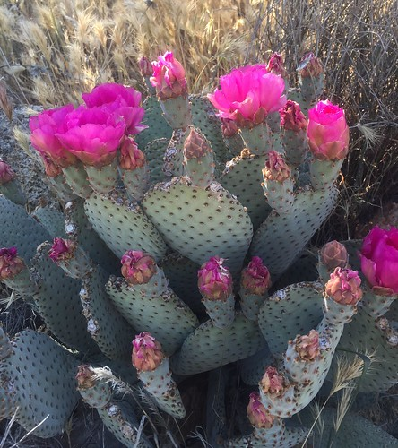 PCT flowers: pink