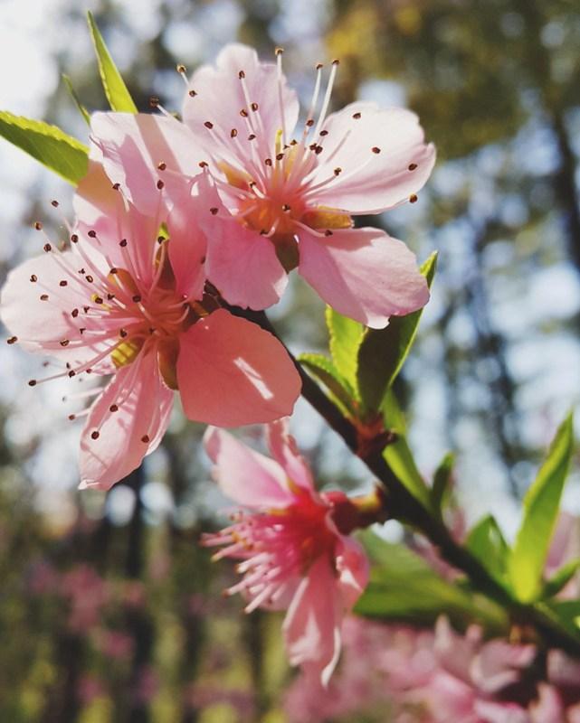 Apsan flowers