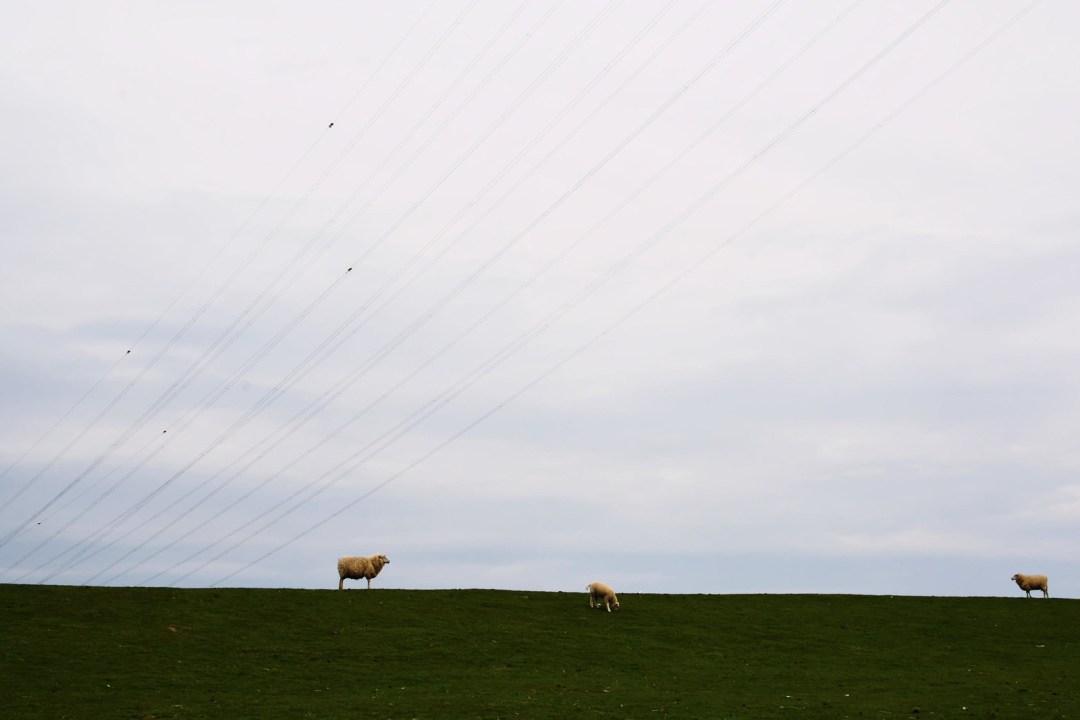 Hetliger Schanze/Schafe