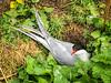 Tern on the nest (2)