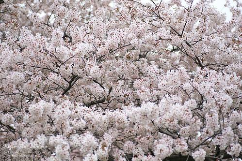 ソメイヨシノ 20150403-IMG_9569