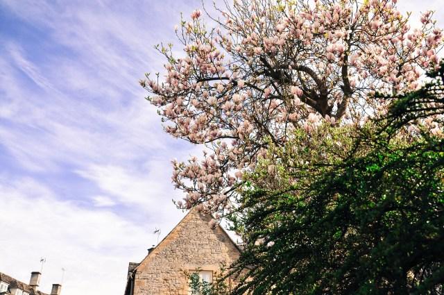Magnolia Cotswolds