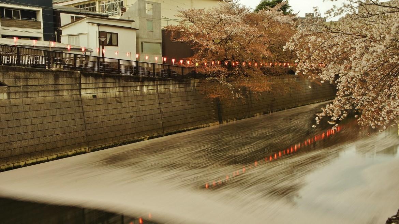 Sakura Petals on Meguro River