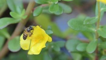 lebah mencari nektar