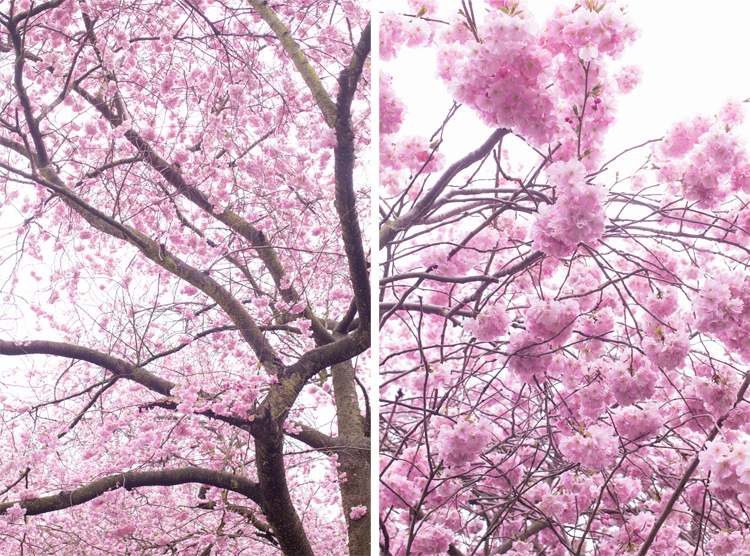 cherry blossom x 2