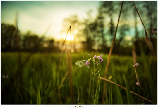 Een vlinder op een Pinksterbloem bij zonsondergang; maar is het een Oranjetipje?