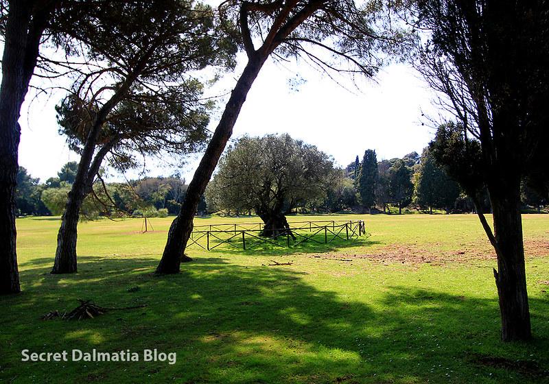 Brijuni olive tree