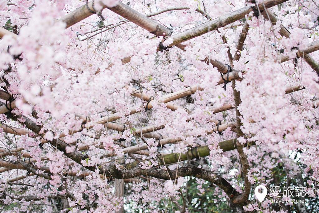 京都赏樱景点 半木之道 28