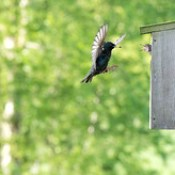 European Starling brings delicious food to demanding and very hungry juvenile