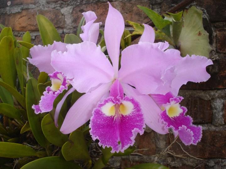 Colombia - Orquídea