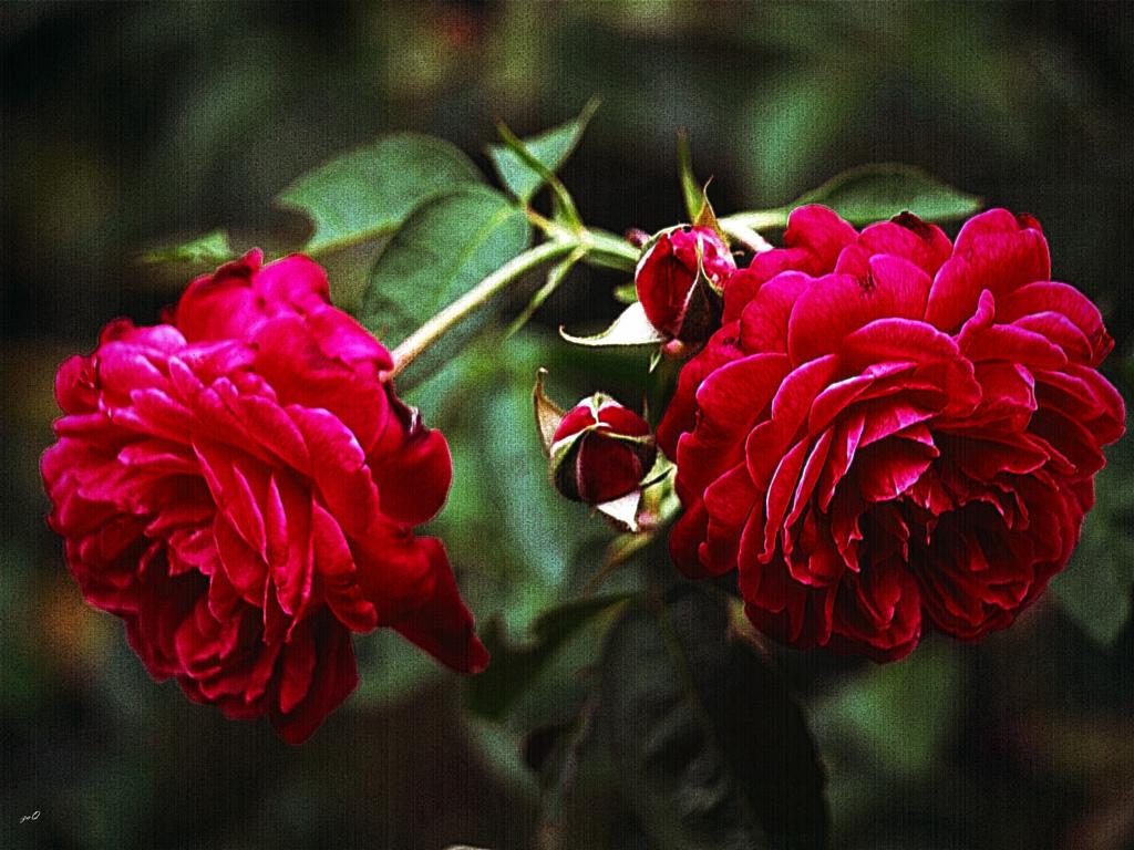 Imagen gratis de unas rosas antiguas