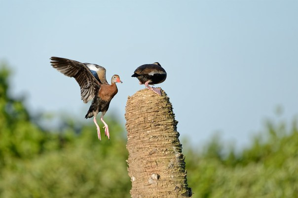 Black Bellied Whistling Duck disputes -1 of 4