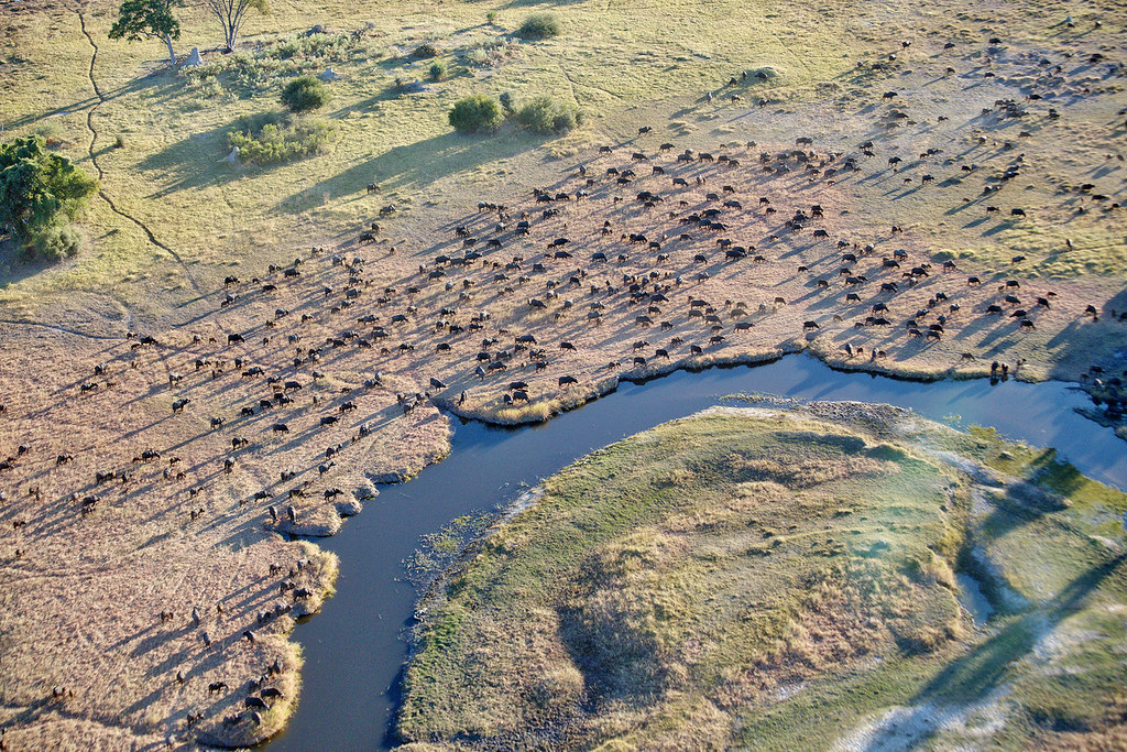 A heard of Water Buffalos, Okavango Delta.