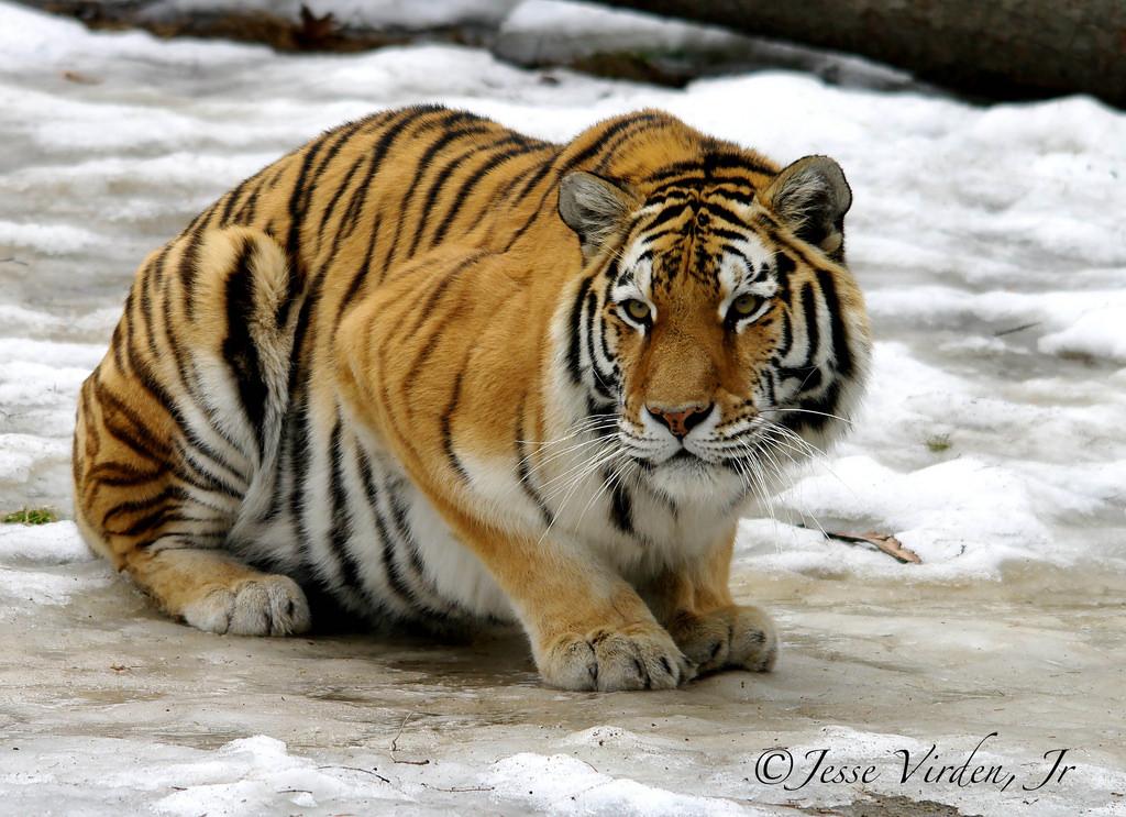 Imagen gratis de un gran y bonito tigre