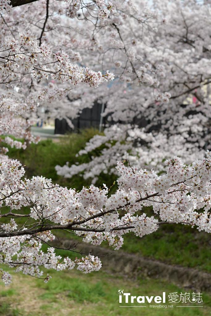 京都赏樱景点 井手町玉川堤 (42)