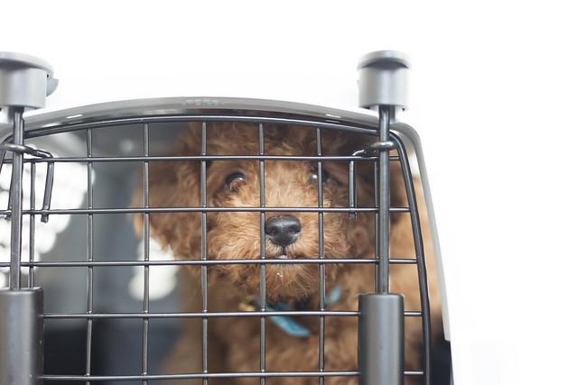 怪我の応急処置をおえて病院へ向かう犬
