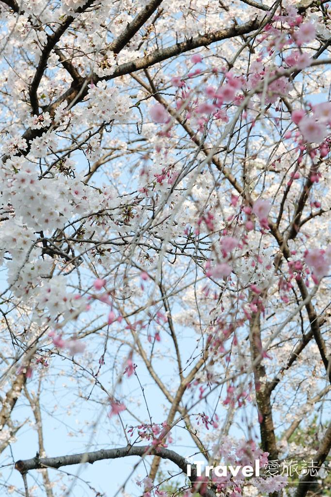 福岡賞櫻景點 西公園Nishi Park (33)